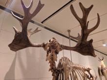 Lo scheletro di un Megaceros Giganteus, estintosi sembra per l'eccessivo sviluppo dei palchi.